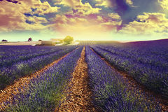 Lavender field. In south of france Stock Photo