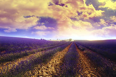 Lavender field. In south of france Royalty Free Stock Photo