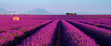 Lavender field in the South of France. Lavender field at sunset in Provence, France Stock Photo
