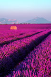 Lavender field in the South of France Royalty Free Stock Images