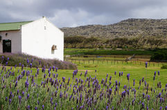 Lavender field in Stellenbosh,Cape Town, South Africa. Stock Images