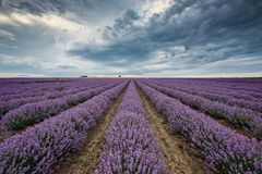 Lavender field before storm royalty free stock images