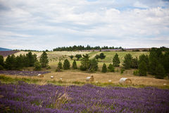 Lavender field and Straw bales in Provence, France Royalty Free Stock Photo