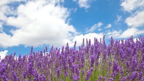 Lavender field in the summer Stock Photo