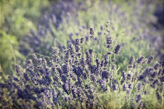 Lavender in the field Royalty Free Stock Image