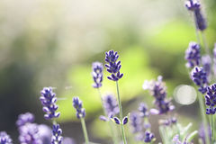 Lavender in the field Royalty Free Stock Images
