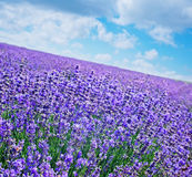 Lavender field. Summer lavender field in Crime Royalty Free Stock Image