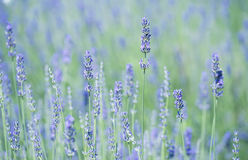 Lavender field in the summer Royalty Free Stock Images