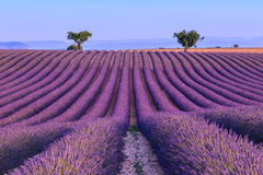 Lavender field in the summer-France Stock Images