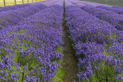 Lavender field in the summer Royalty Free Stock Photo