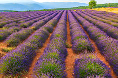 Lavender field summer landscape near Sault. Provence.France Royalty Free Stock Photo