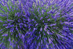 Lavender field summer landscape near Valensole Royalty Free Stock Images
