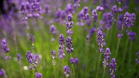 Lavender Field in the summer. Lavender Field in the summer stock photography