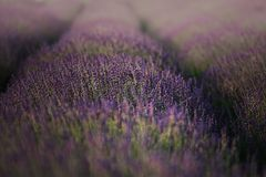 Lavender field in the summer Stock Photos