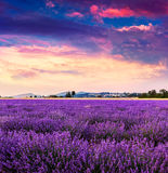 Lavender field summer near Sault. Stock Images