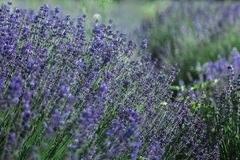Lavender field in Summer near Tihany, Hungary. Europe stock photos