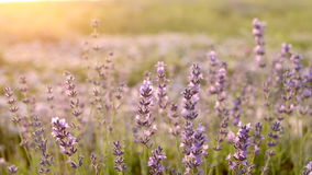 Lavender Field in the summer stock footage
