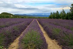 Lavender field in the summer in Provence, southern France Stock Photos