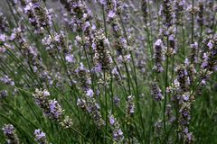 Lavender field in the summer in Provence, southern France Royalty Free Stock Photo