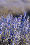 Lavender Field in the summer Stock Photography
