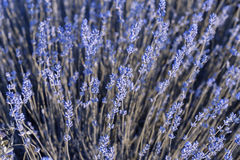Lavender Field in the summer Stock Images