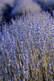 Lavender Field in the summer Royalty Free Stock Photography