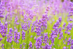 Lavender field in summer. Summer lavender field in sun light Royalty Free Stock Photography
