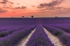Lavender field summer sunset landscape near Valensole. royalty free stock images