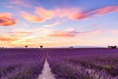 Lavender field summer sunset landscape in Provence. Lavender field summer sunset landscape with two tree near Valensole.Provence,France Royalty Free Stock Photo