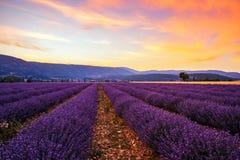Lavender field summer sunset Stock Image