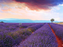 Lavender field summer sunset Royalty Free Stock Image