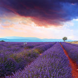 Lavender field summer sunset Royalty Free Stock Photos