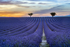 Lavender field Summer sunset landscape with trees. Lavender field Summer sunset landscape with  trees on horizon Royalty Free Stock Images