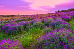 Lavender field in summer Stock Image