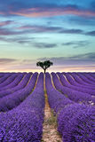 Lavender field Summer sunset with tree on the horizon. Lavender field Summer sunset landscape with tree on horizon stock images