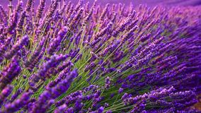 Lavender field in the summer in Valensole stock footage