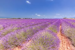 Lavender flower blooming scented fields in endless rows. Valensole plateau, Provence, France, Europe royalty free stock photography
