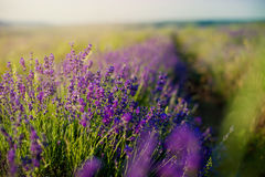 Lavender field in sunlight. Royalty Free Stock Photo