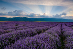 Lavender field at sunrise in Bulgaria. Lavender field shot at sunrise with brilliant rays of light coming from clouds. Shot in Karlovo, Bulgaria royalty free stock image