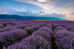Lavender field at sunrise in Bulgaria. Lavender field shot at sunrise in Karlovo, Bulgaria royalty free stock images