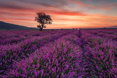 Lavender field at sunrise with lonely tree. Summer sunrise landscape, contrasting colors. Magnificent lavender field at sunrise with lonely tree. Summer sunrise royalty free stock image