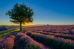 Lavender field at sunrise in Provence. France royalty free stock photo