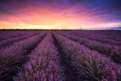 Lavender field at sunrise. Stunning view with a beautiful lavender field at sunrise stock photo
