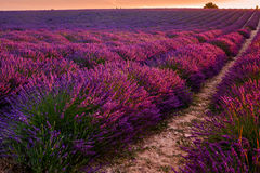 Lavender field on sunrise, Valensole plateau (France). Lavender field on sunrise, Valensole plateau, Provence (France royalty free stock photography