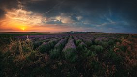 Lavender field at sunset. Lavender flower blooming scented fields in endless rows Royalty Free Stock Photos