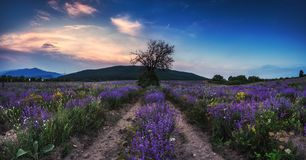 Lavender field at sunset. Lavender flower blooming scented fields in endless rows Stock Photography