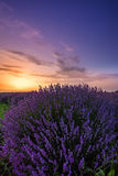 Lavender field, on sunset. stock photos