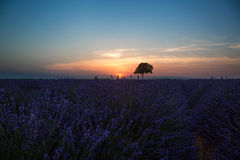 Lavender field at sunset, France. Beautiful image of lavender field summer sunset landscape with single tree on horizon with sunburst Royalty Free Stock Photography
