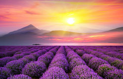 Lavender field on a sunset misty day Stock Photos