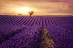 Lavender field. At sunset, Provence Stock Images